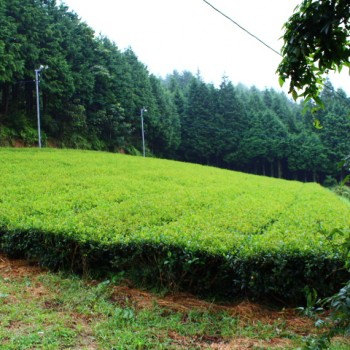 Tea garden in Ukiha