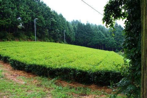 Tea garden in Ukiha