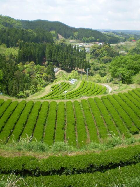 Tea Garden in Gokase