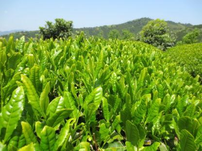 Honyama tea garden