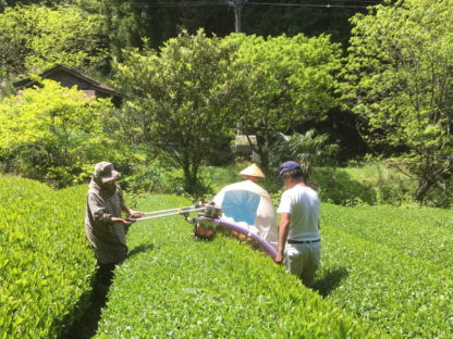 Honyama tea harvest