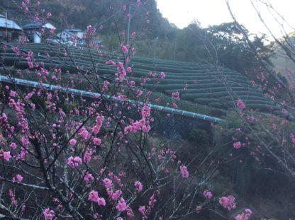 Kiyosawa tea farm