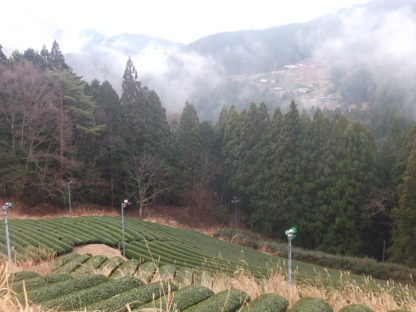Tea farm in Haruno