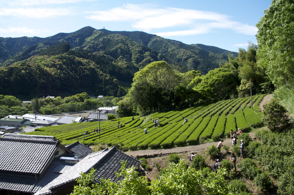 Tea farm in Fujieda