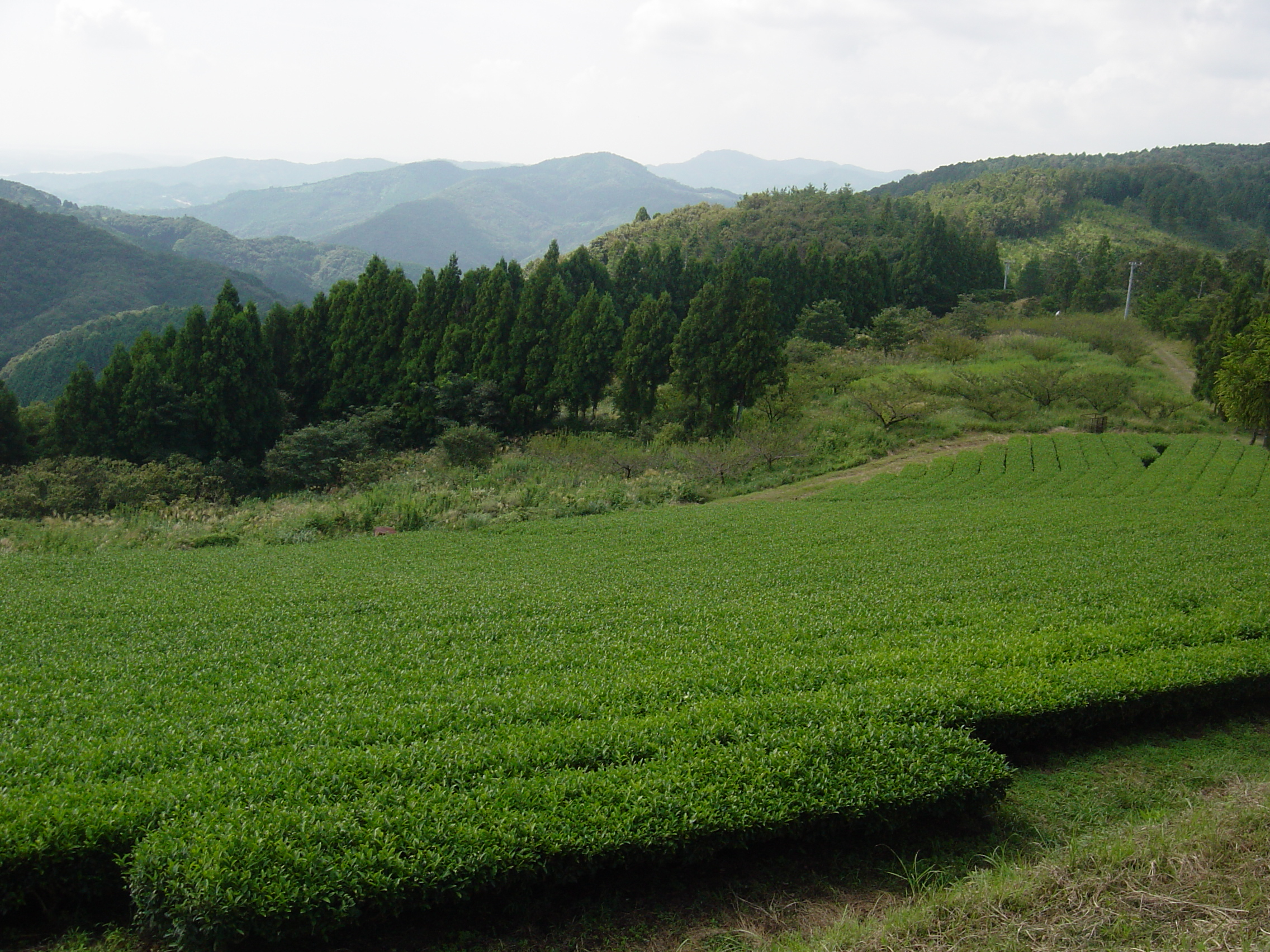 Tea farm in Nearai-cho
