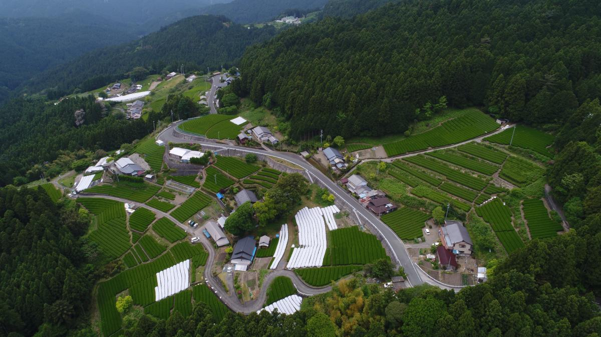Tea farms in Tenryu