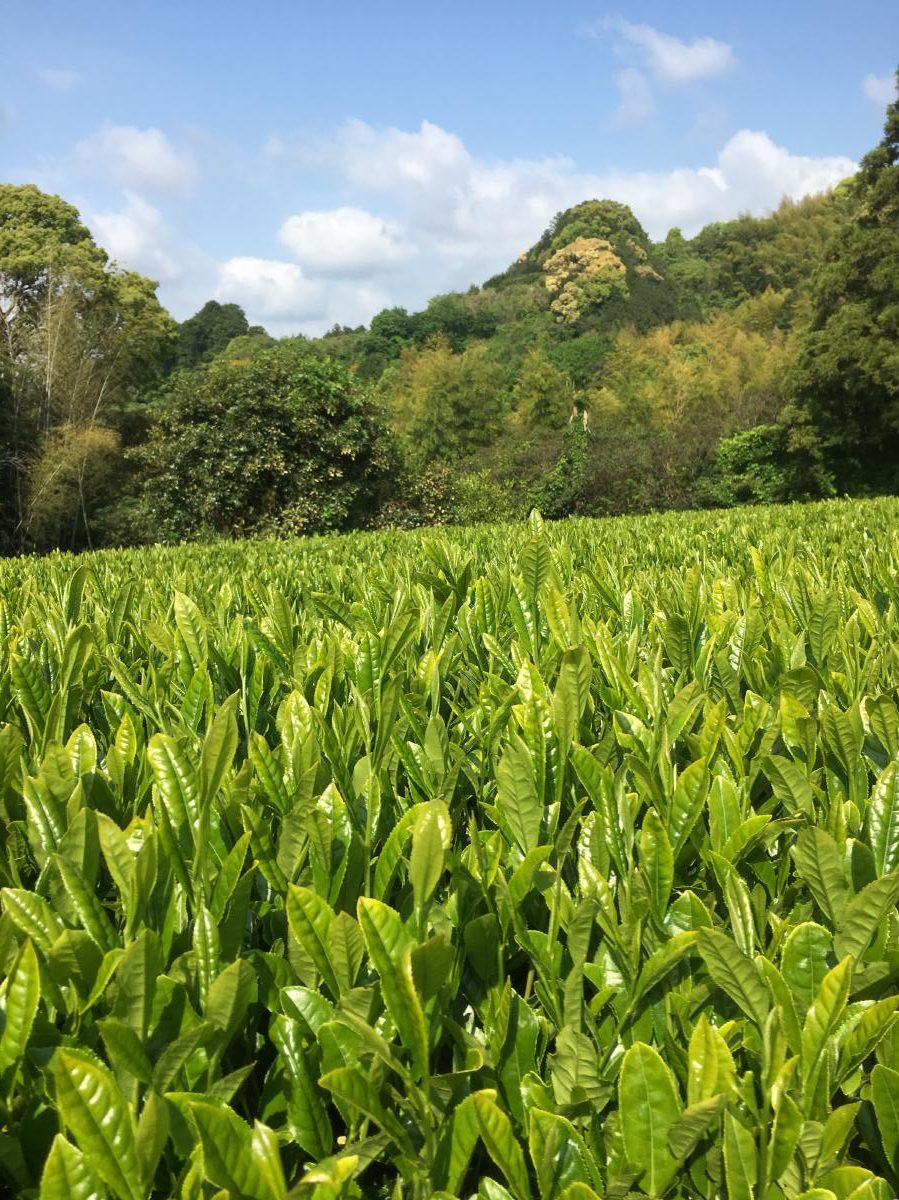 Tea gardens in Fujieda