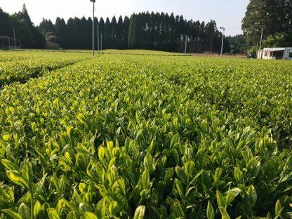 Tea garden in Kirishima